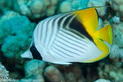 BD-100920-Fury-Shoal-1752-Chaetodon-auriga.-Forsskål.-1775-[Threadfin-butterflyfish.-Flaggfisk].jpg